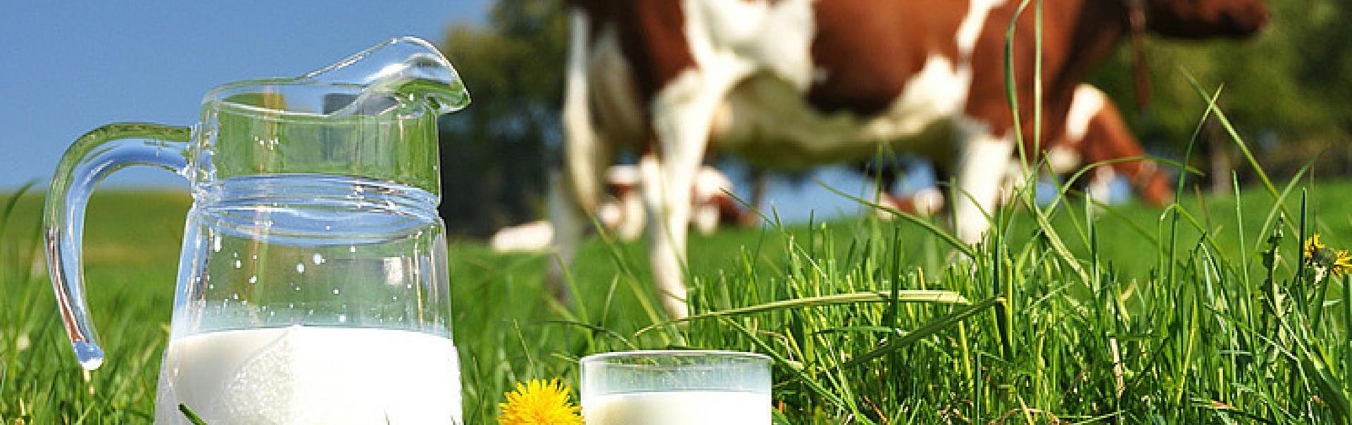 cows milk